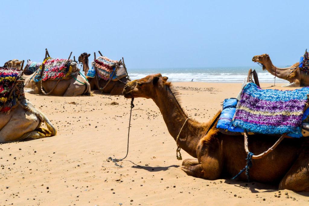 Camels-at-Essaouira